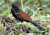 greater coucal 1.jpeg