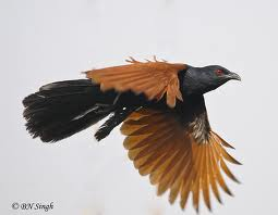 greater coucal 2.jpeg